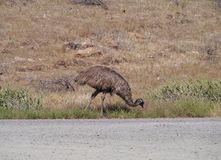 An eating emu Stock Photography