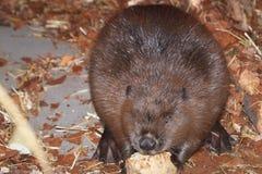 Eating european beaver Stock Photo