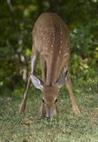 Eating fawn Stock Photography