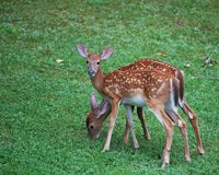 Eating fawns royalty free stock photos