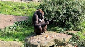 Eating female gorilla stock video footage
