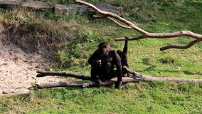 Eating female gorilla and young passing gorillas. A female gorilla is sitting upon a eating and eating. The young lithe and active offspring are passing her. The stock video