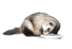 Eating ferret Stock Images