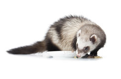 Eating ferret Royalty Free Stock Photography