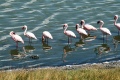 Eating flamingos. Some pink flamingos in arusha park in tanzania stock photography