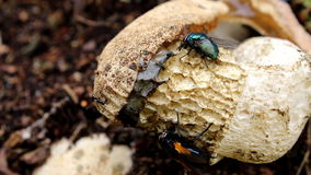 Eating flies upon Common  Stinkhorn, Holland stock video footage