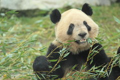 Eating giant panda Stock Photo