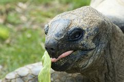 Eating giant tortois Stock Photo