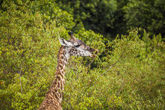 Eating giraffe Royalty Free Stock Photo