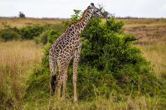 Eating giraffe Royalty Free Stock Image