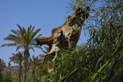 Eating giraffe. Giraffe eating leaves from tree Stock Photo