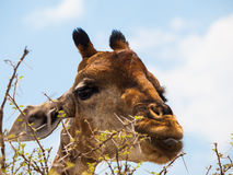Eating giraffe portrait Stock Photo