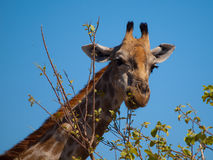 Eating giraffe portrait Royalty Free Stock Images