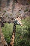 Eating giraffe on safari wild drive Royalty Free Stock Image