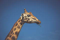 Eating giraffe on safari wild drive Royalty Free Stock Photos