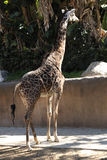 Eating Giraffe. A Giraffe eating at the zoo Royalty Free Stock Photography
