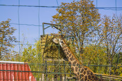 Eating giraffe Stock Images