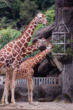 Eating giraffes Stock Photos