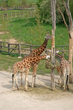 Eating Giraffes in a Zoo. Near a place for feeding Royalty Free Stock Photography