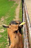 Eating goat. Goat is eating roll in zoo Royalty Free Stock Images