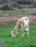 Eating goat in Fuerteventura Stock Photo