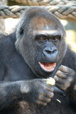 Eating gorilla Royalty Free Stock Images