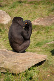 Eating Gorilla Royalty Free Stock Photo