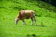 The eating grass cow on the prairie Stock Photos