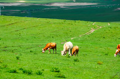 The eating grass cow on the summer prairie Stock Images