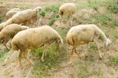 Eating grass sheep Stock Image