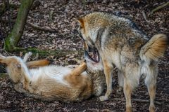 Eating gray wolf in the forest Stock Photos
