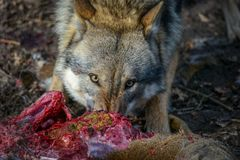 Eating gray wolf in the forest Royalty Free Stock Photo