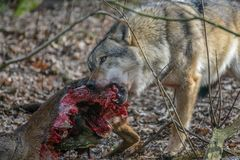 Eating gray wolf in the forest Royalty Free Stock Images