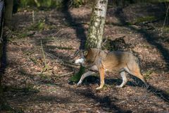 Eating gray wolf in the forest Stock Images