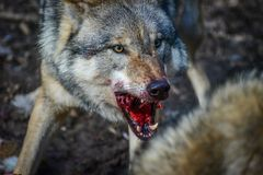 Eating gray wolf in the forest Royalty Free Stock Image