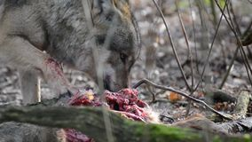Eating gray wolf in the forest stock footage
