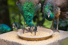 Eating green peafowls, Pavo muticus Royalty Free Stock Photography