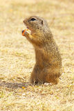 Eating Ground Squirrel Royalty Free Stock Images