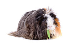 Eating guinea pig Stock Photos
