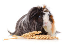Eating guinea pig Royalty Free Stock Photo