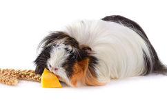 Eating guinea pig Stock Photo