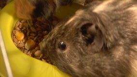 Eating guinea pigs. Two guinea pigs eat the grains stock footage