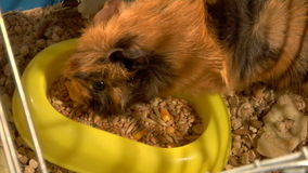 Eating guinea pigs. Two guinea pigs eat the grains stock video footage