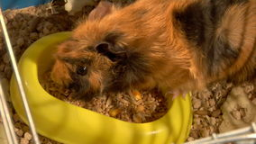 Eating guinea pigs. Two guinea pigs eat the grains stock video