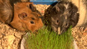 Eating guinea pigs. Two guinea pigs eat the green grass stock video footage