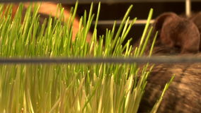 Eating guinea pigs. Two guinea pigs eat the green grass stock video