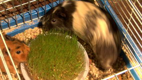 Eating guinea pigs. Two guinea pigs eat the green grass stock footage