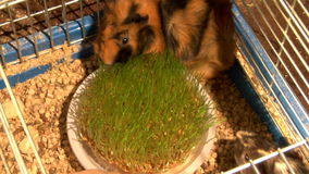 Eating guinea pigs. Two guinea pigs eat the green grass time lapse stock video