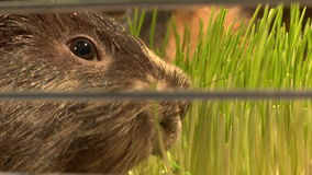 Eating guinea pigs. Two guinea pigs eating green grass stock footage
