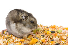 Eating Hamster Royalty Free Stock Photo